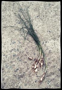 hipster wild onion